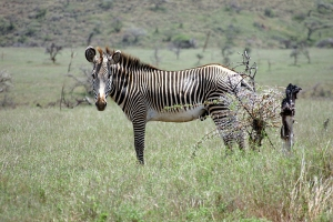 800px-Equus_grevyi_in_Kenya_(male).jpg