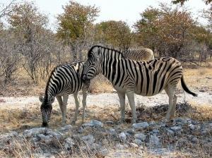 Zebras_etoscha_201710221933075cf.jpg