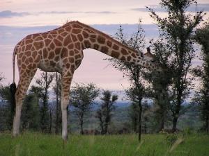 giraffe-2064229__340.jpg