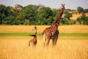 giraffe-2064520__340.jpg