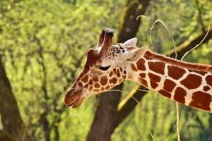 giraffe-2441620__340.jpg