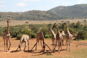 giraffe-2444156__340.jpg