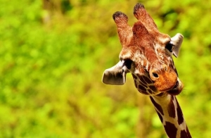 giraffe-2469322__340.jpg