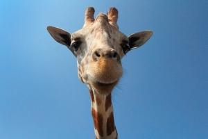 giraffe-2590689__340.jpg