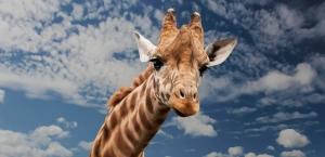 giraffe-614141__340.jpg