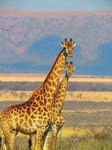 giraffes-382399__340.jpg