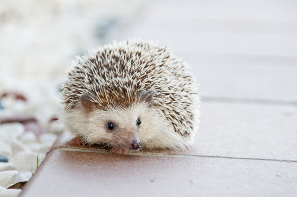 hedgehog-468229_960_720.jpg