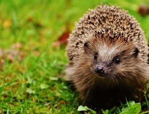 hedgehog-child-1759505_960_720.jpg