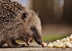 hedgehog-child-1784168_960_720.jpg