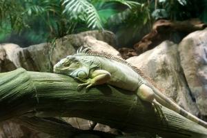 iguana-2067270__340.jpg