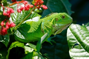iguana-223157__340.jpg