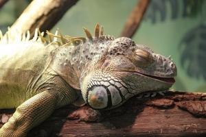 iguana-2691574__340.jpg