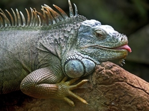 iguana-50198__340.jpg