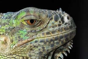 lizard-1128263__340.jpg