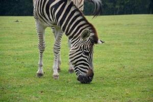 zebra-2649665__340.jpg