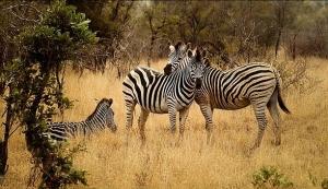 zebras-2801451__340.jpg