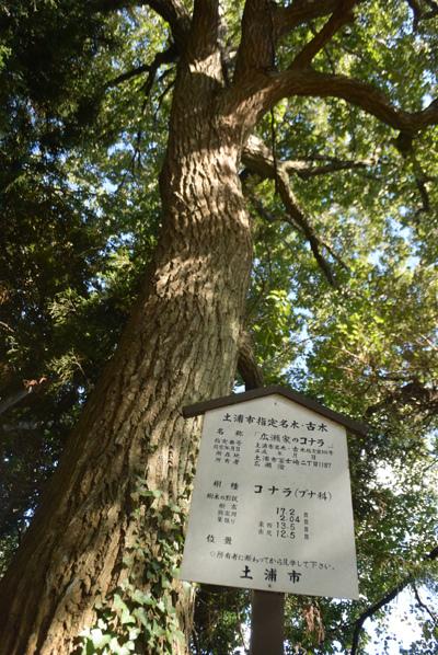 土浦市が立てた指定の銘板プレート(広瀬家のコナラ)