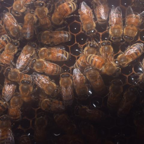 働きバチの群れ、一匹の女王バチを中心にメスだけ構成されるミツバチの巣