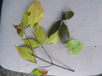 モミジ 三つ葉葵171029