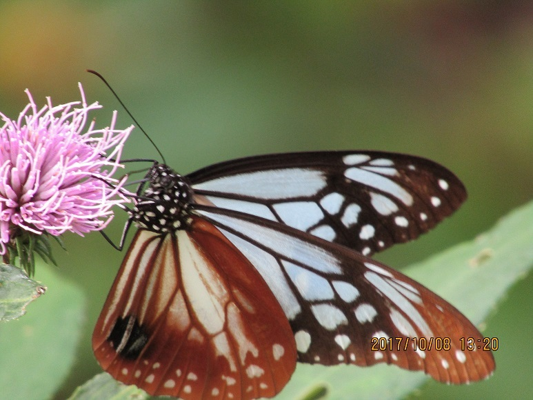 小入川の蝶