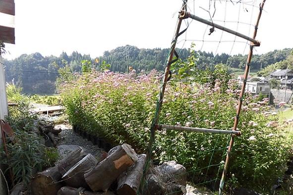 平成29年樺家の新しいアサギマダラチョウの花壇