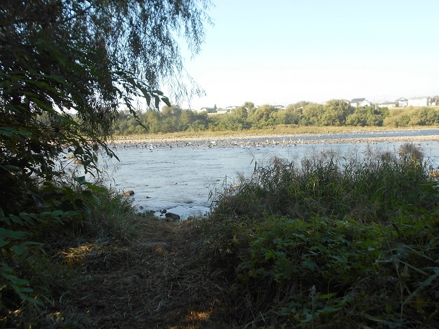 DSCN31841010管理棟下流川ウの大群アユを捕食している写真.jpg