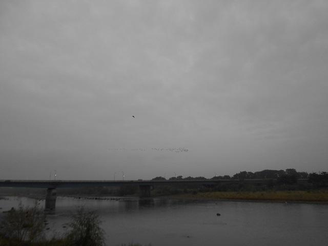 DSCN32361015大渡橋上空に飛来ウの大群.jpg