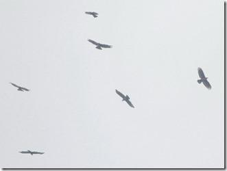 170925008ハチクマの鷹柱の一部(鵲)
