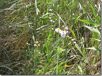 171008007 ウラギクの花