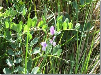 171008008 ハマエンドウの花
