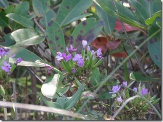 171008009 ハマナデシコの花