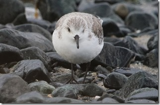 171030001休息するミユビシギ(鵲)