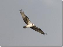 171030005海岸上を飛ぶミサゴ(鵲)