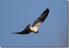 171127012 海岸上空のミサゴ(鵲)