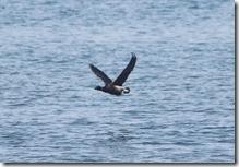 171127016 飛び出すコクガン(鵲)