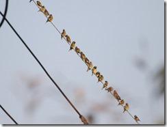 171127018 群れるカワラヒワ(鵲)