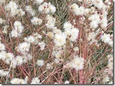 171210006 ウラギク綿毛(ハマシオンの綿毛)