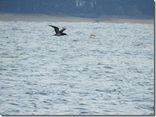 171225006 海上を飛翔するカツオドリ(さけ)