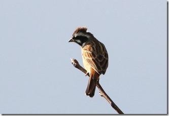 171225007 枝先で見かけたホオジロ♂(鵲)