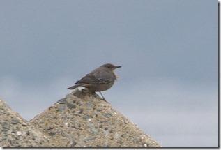 171225010 休息か探餌か イソヒヨドリ♀(鵲)