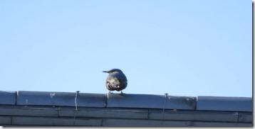 171225011 屋根で見かけたイソヒヨドリ♂