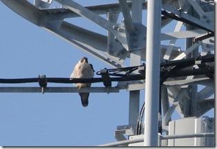 171225013 電波塔で休息中のハヤブサ(鵲)