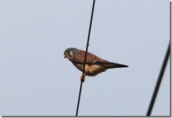 171225015 チョウゲンボウ(♂成鳥)