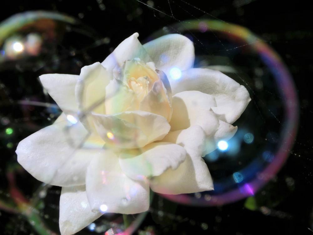 薔薇(3)