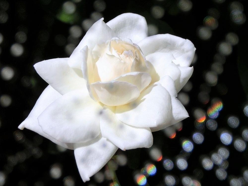 薔薇(4)