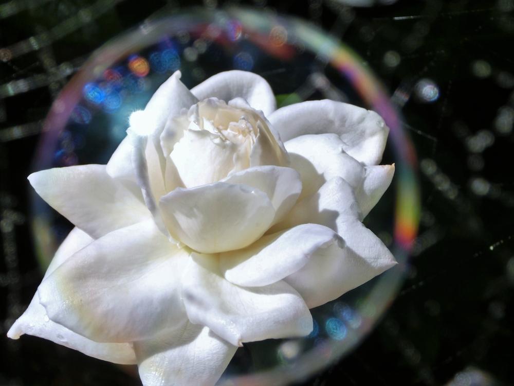 薔薇(5)