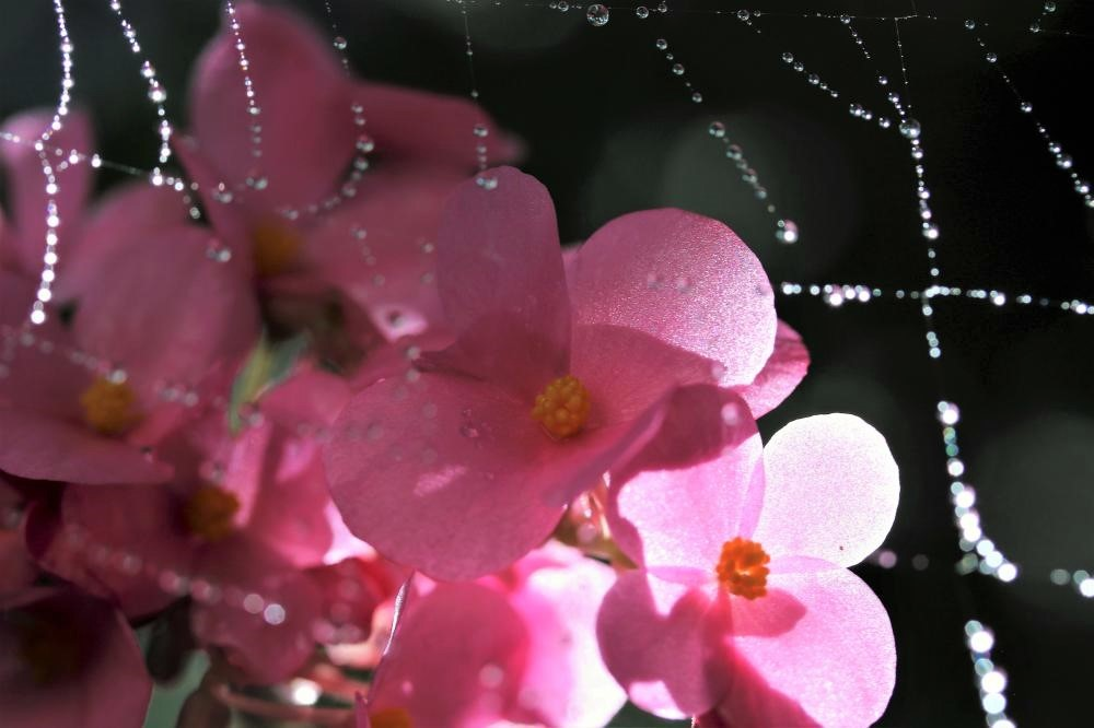 クリスマスベゴニア・ラブミーと蜘蛛の巣に水滴(1)