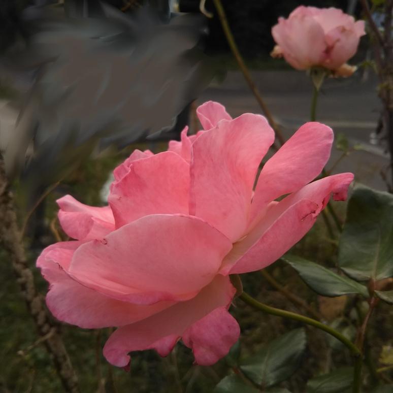 Rose 20171103