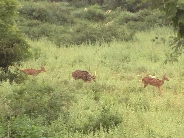 2017インドツアー 鹿