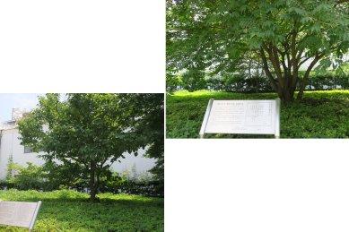 礫川公園内・サトウハチロウ櫨の木と幸田文ハンカチの木